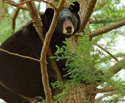 black bear game commission